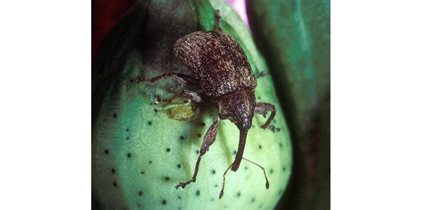 Boll Weevil (Anthonomus grandis). (Photo credit: USDA Agricultural Research Service)