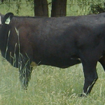 Lee County Extension Office will hosts a workshop on beef cattle outlook and volatility on June 9, 2017. (Courtesy of Clemson Cooperative Extension)