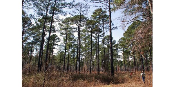 Forestry is the largest industry in South Carolina and Clemson Extension is holding a workshop to help people learn more about prescribed burning management practices used to manage forests. Image Credit: Jim Melvin / Clemson University