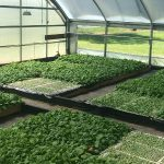 Researchers tried seven different fertilizer regimens for organic tobacco seedlings. (Courtesy of NC State University)