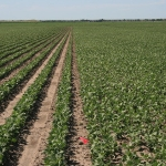 "Figure 1. Pinto bean planting method comparison. Left: 90,000 plt/A in 30"" rows vs. 120,000 plt/A in 7.5"" rows (right). (University of Minnesota Extension)"