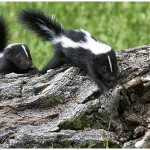Skunks are a concerning source of rabies in Colorado. (Courtesy of CSU)