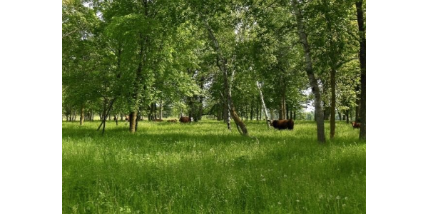 Silvopasture is a sustainable agroforestry practice where trees and forage crops are grown together in a single piece of land, and managed grazing animals are introduced into the system to utilize the forages. (Courtesy of University of Minnesota Extension)