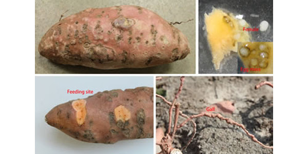 The N.C. Department of Agriculture and Consumer Services is warning sweet potato growers about an emerging root-knot nematode, Meloidogyne enterolobii, which has been identified in fields in Columbus, Johnston, Wayne and Wilson counties. (Courtesy of N.C. Department of Agriculture and Consumer Services)