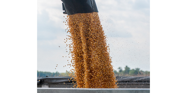 Corn market figures in lower yields