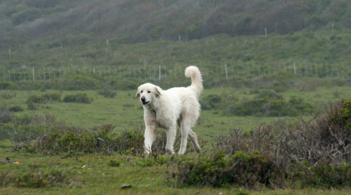 The benefits of livestock guardian dogs