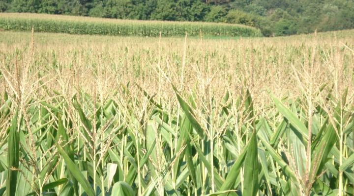 Dow announces launch of Enlist corn