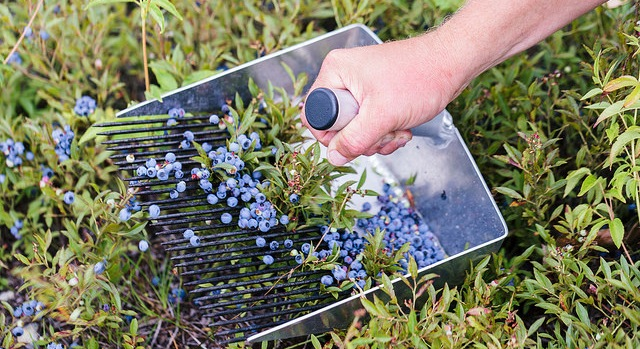 Maine blueberries reach 10 year low