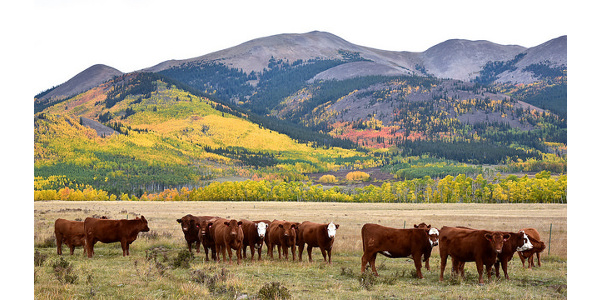 Colorado cattle