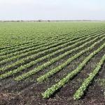 Rows of sugarcane growing in Florida. (Josh Hallett via Flickr)