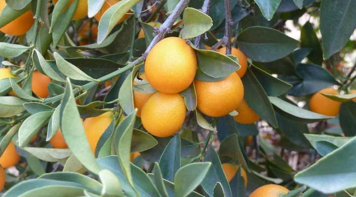 Funds will help stop deadly citrus disease