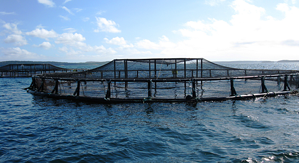 Oil from chickens could help fish farms