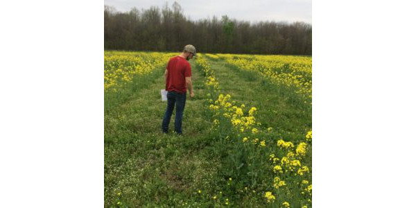 Canola plots were in full bloom during the spring months. (Courtesy of Southeast Missouri State University)