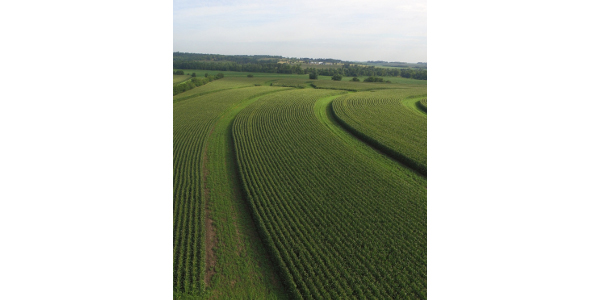 Prairie strips that have been planted in between corn rows in their first year of growth in Tama County, Iowa. (Courtesy of Conservation Districts of Iowa)