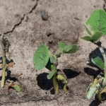 Soybean seedling disease - Malvick_ed copy