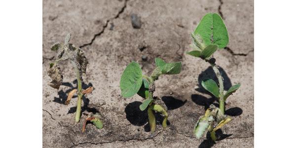 Soybean seedling disease - Malvick_ed copy