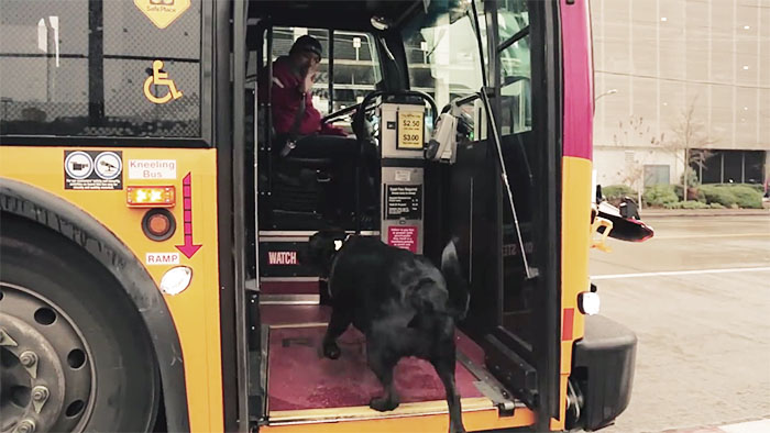 Dog takes bus to go to the park —on her own