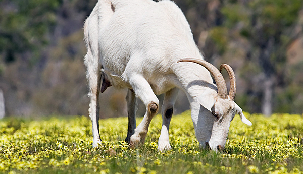 Goats getting contract to eat Pittsburgh's weeds