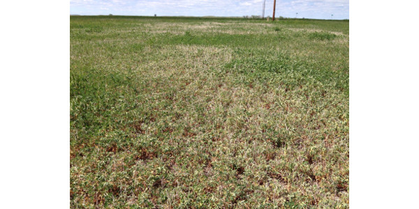 Drought is causing spring alfalfa growth to wilt. (NDSU photo)