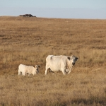 North Dakota's dry conditions are a concern for livestock producers. (NDSU photo)