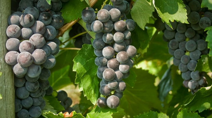 Name that tasty grape, new from Cornell