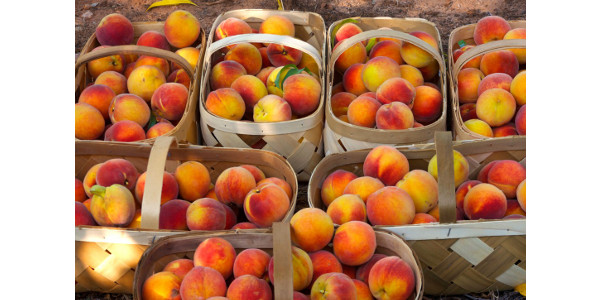 South Carolina grows around $130 million in peaches a year, according to federal data. (Image Credit: Clemson University)