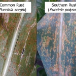 Fig. 1. Common rust and southern rust may be difficult to differentiate in the field, but a free online video can show some tips in identifying these diseases. (Photos: Carl Bradley)