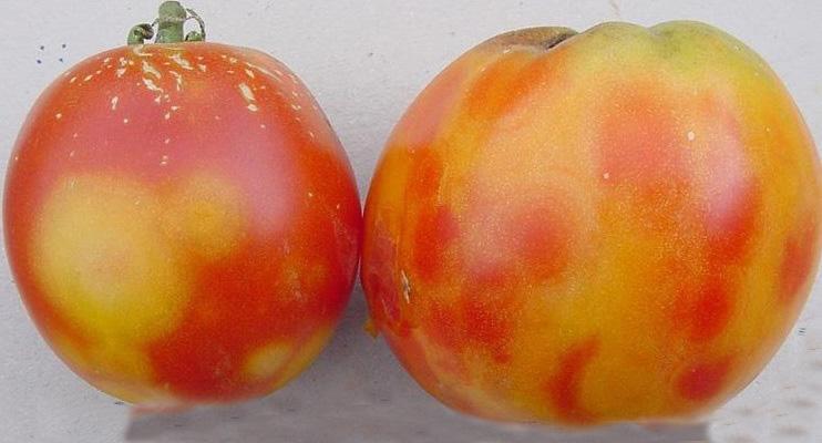 tomato spotted wilt virus pdf