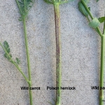 Purple blotches on the stems of poison hemlock distinguish it from wild carrot and wild parsnip. (Courtesy of Minnesota Department of Agriculture)