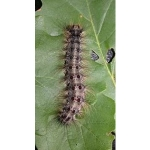 Gypsy moth caterpillars are hairy and have five pairs of blue dots and six pairs of red dots down their back. (Courtesy of Minnesota Department of Agriculture)