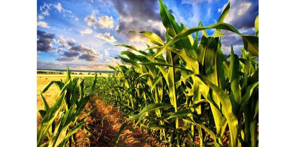 corn meeting