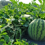 The first sighting of downy mildew on South Carolina watermelons for 2017 was reported in Charleston County on Monday. (Image Credit: Denise Attaway / Clemson University)
