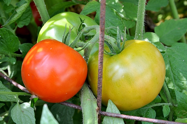 Tomato study could lead to better crops