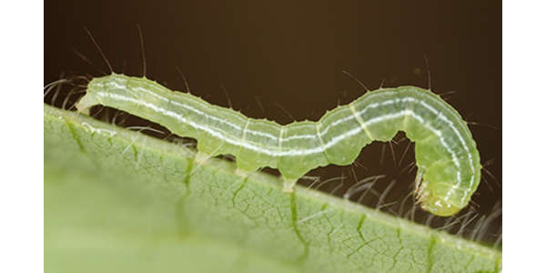 Currently, caterpillars aren't causing too much defoliation due to their small size, but as they grow their feeding may become more noticeable. (Courtesy of SDSU Extension)