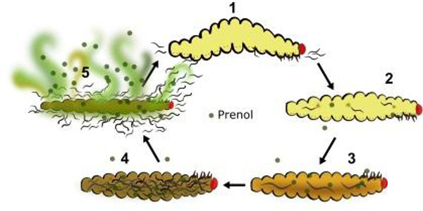 Infected insects cause a stink