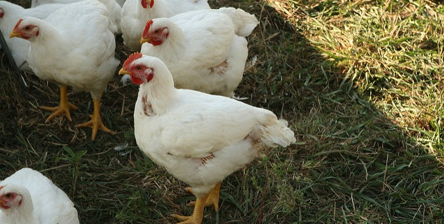 U.S. chicken industry at all-time high