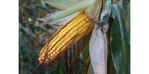 Corn gene associated with disease resistance