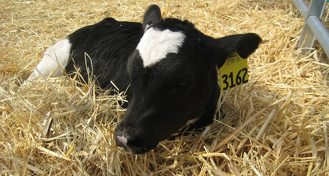 Evaluating colostrum quality, calf immunity