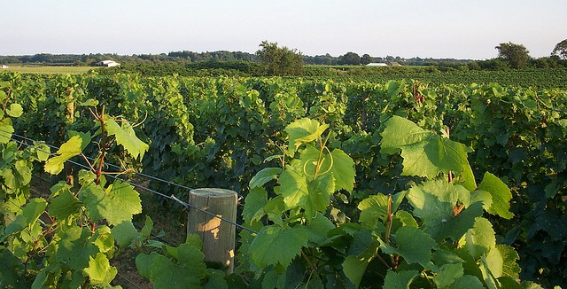 GPS technology in local vineyards