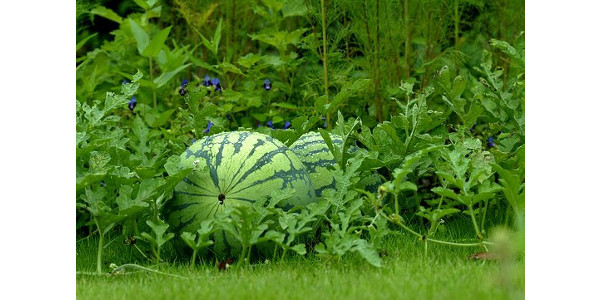Watermelon Day is July 27