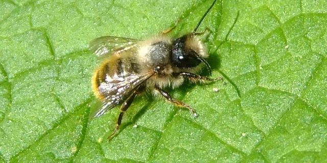 Native pollinators create buzz