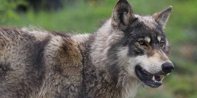 Wyo. wolves kill record number of livestock