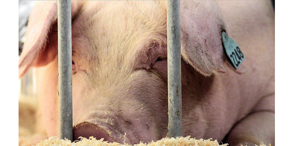 iowa state fair pig