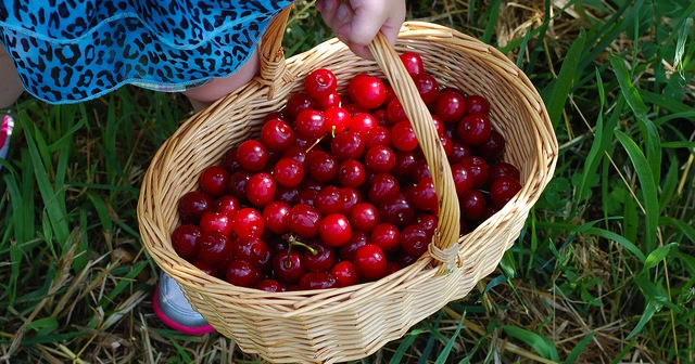 Sour cherry lovers flock to orchards