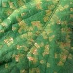 Downy mildew symptoms on cucumber. (Photo by Mary Hausbeck, MSU)