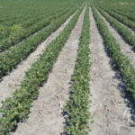 Dicamba injury symptoms can be seen in a Roundup Ready soybean field near Geneva. (Amit Jhala/Nebraska Extension)
