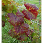 Reddening of the leaves and green veins are clear indicators of grapevine leafroll virus. (Photo by Annemiek Schilder, MSU)