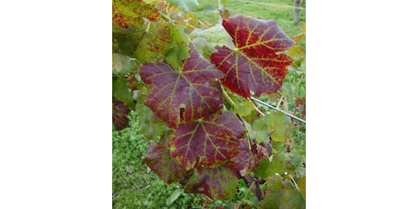 Grapevine leafroll virus a threat to Michigan grapes