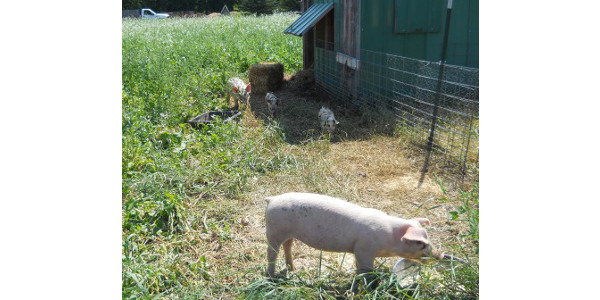 Raising woods-grazed pigs on new farms