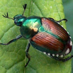 Japanese beetles can cause damage to several hundred different types of plants, from fruit crop plants to ornamental trees and shrubs.(Courtesy of UW-Extension)